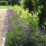 Border of Lavender, Dogwoods, Pyracanthas